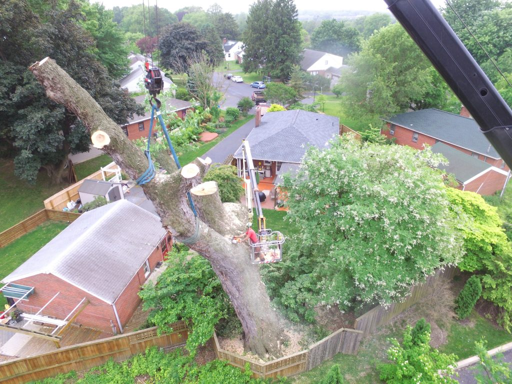 Silver Tree Maple Removal