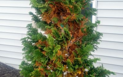 Winter Plant Health Care Guide: Seasonal Needle Drop