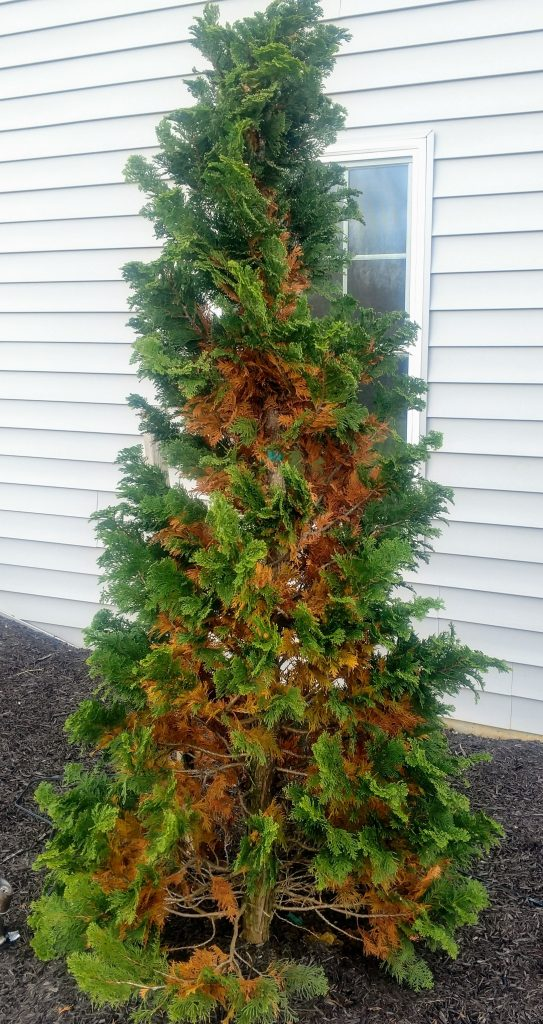 seasonal needle drop hinoki cypress