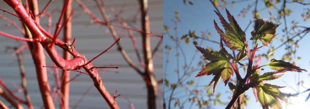 Sangu Kaku Coral Bark Japanese Maple