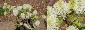 mount airy fothergilla 2