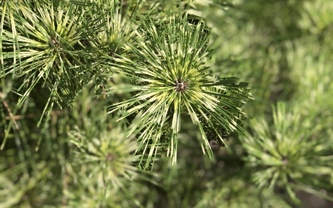 The CVTS-L Landscaping Plant Guide: Dragon's Eye Pine