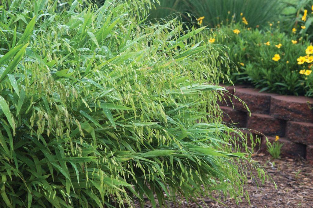 northern sea oats grass