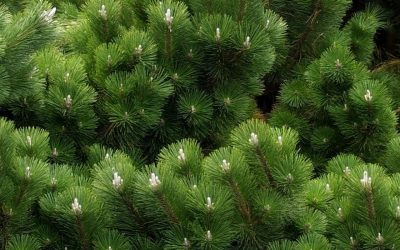 CVTS-L Landscaping Plant Guide: Thunderhead Japanese Black Pine